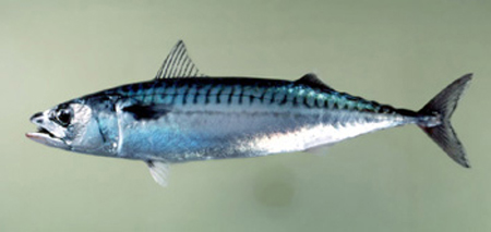File:Atl mackerel photo3 exp.jpg