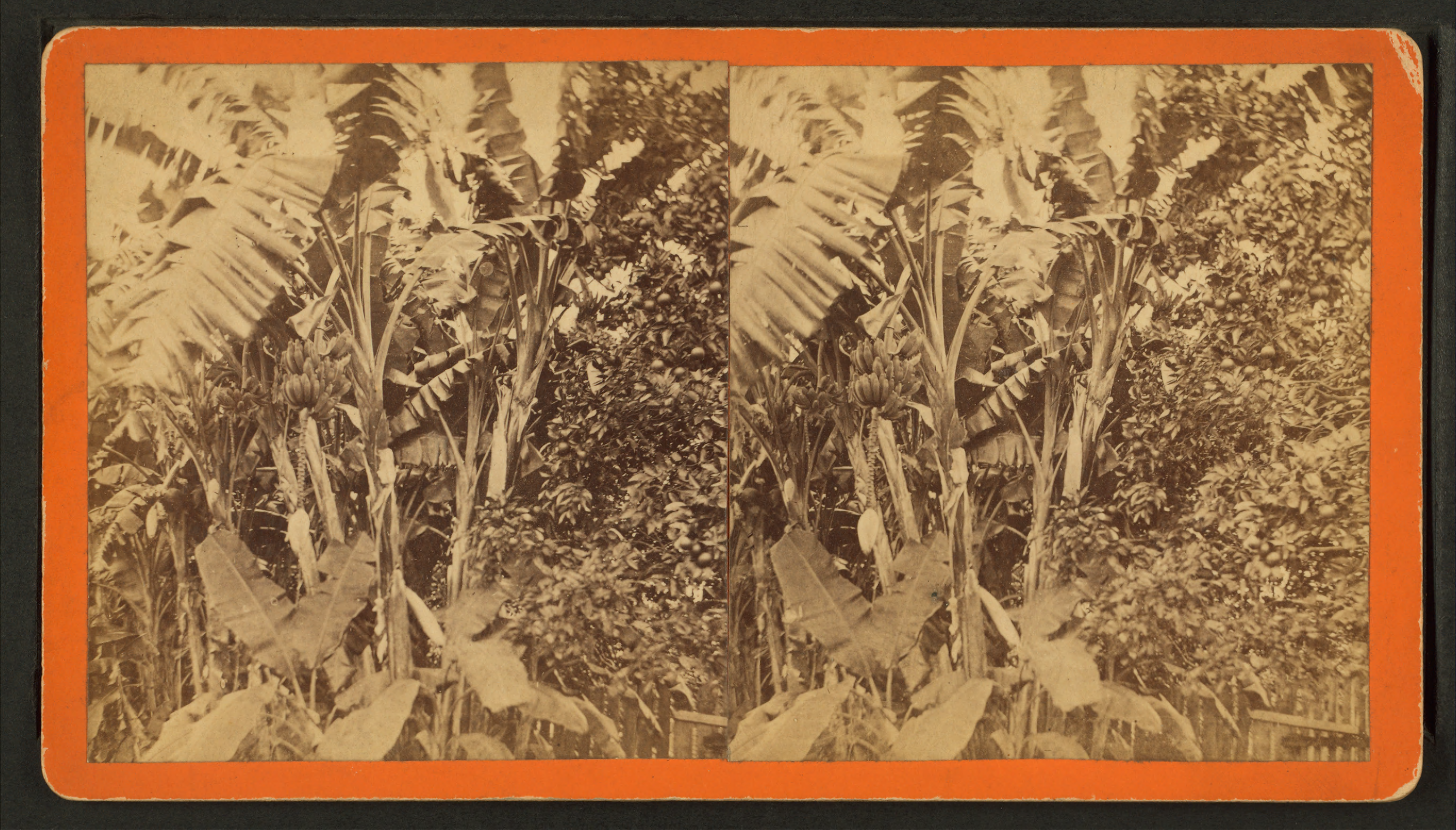 File Banana Trees From Robert N Dennis Collection Of Stereoscopic