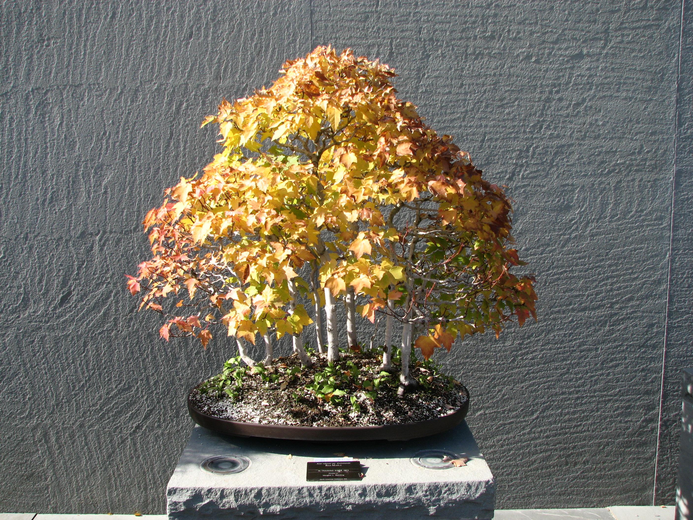 File Bonsai United States National Arboretum 3 Jpg Wikimedia Commons
