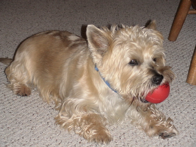 Cairn Terrier with ball
