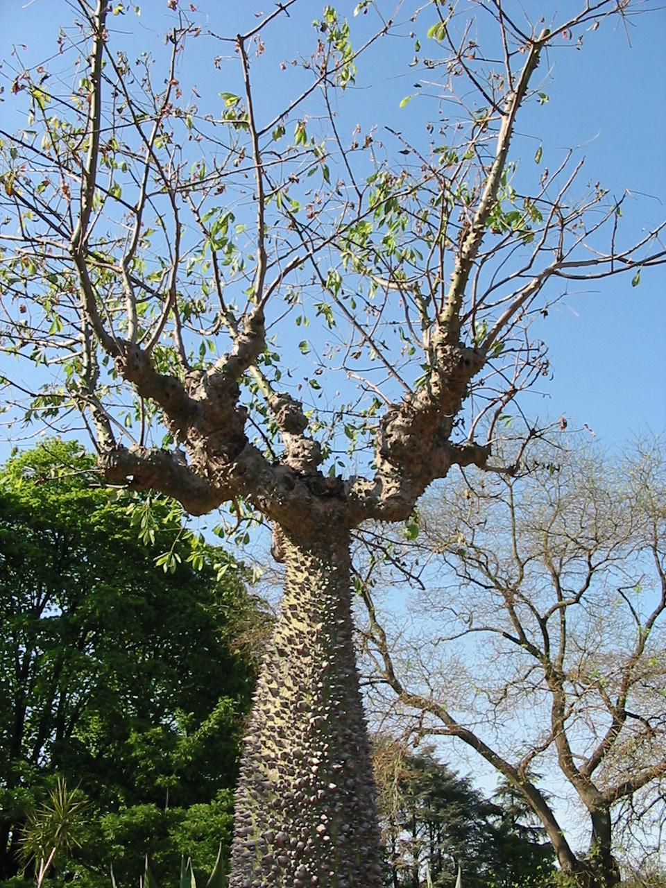 Ceiba chodatii wikipedia for Arboles de jardin de hoja caduca