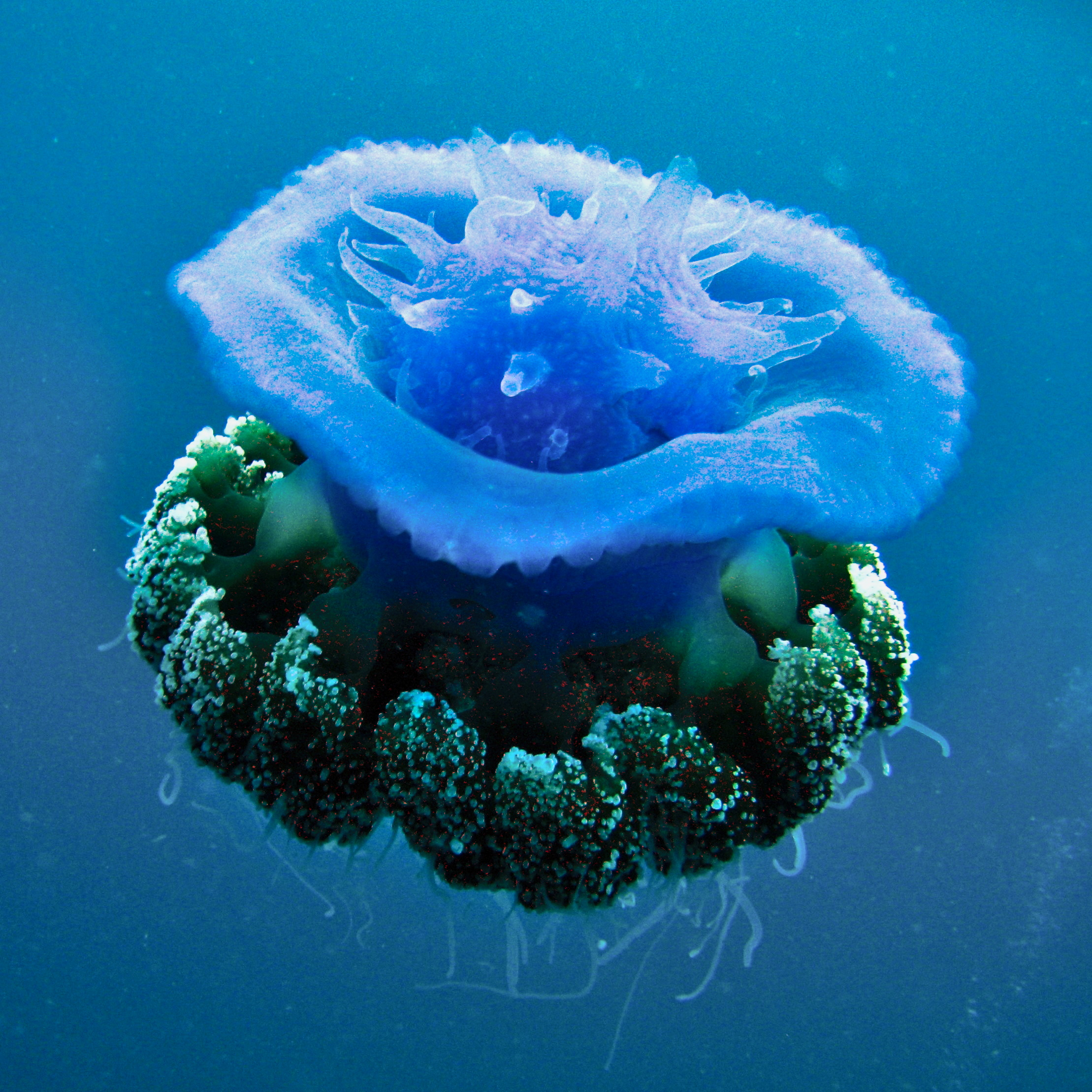 Jiggly jellyfish from dazzling to deadly 72 splendid photos for Fish in jellyfish