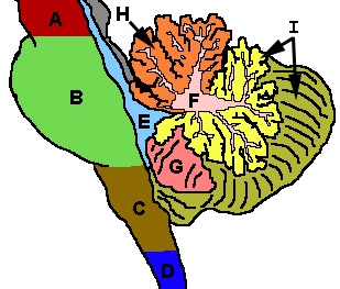 Cerebellum - Wikipedia, the free encyclopedia