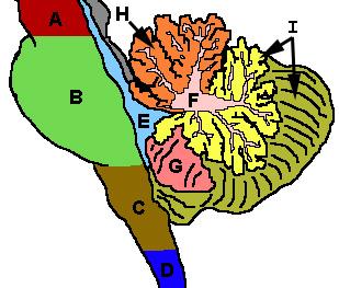 Cerebellum - Wikipedia, the free encyclopedia