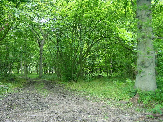 Chitt's Wood, Hucking - geograph.org.uk - 18094