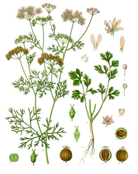 Coriandrum_sativum_-_K%C3%B6hler%E2%80%93s_Medizinal-Pflanzen-193.jpg