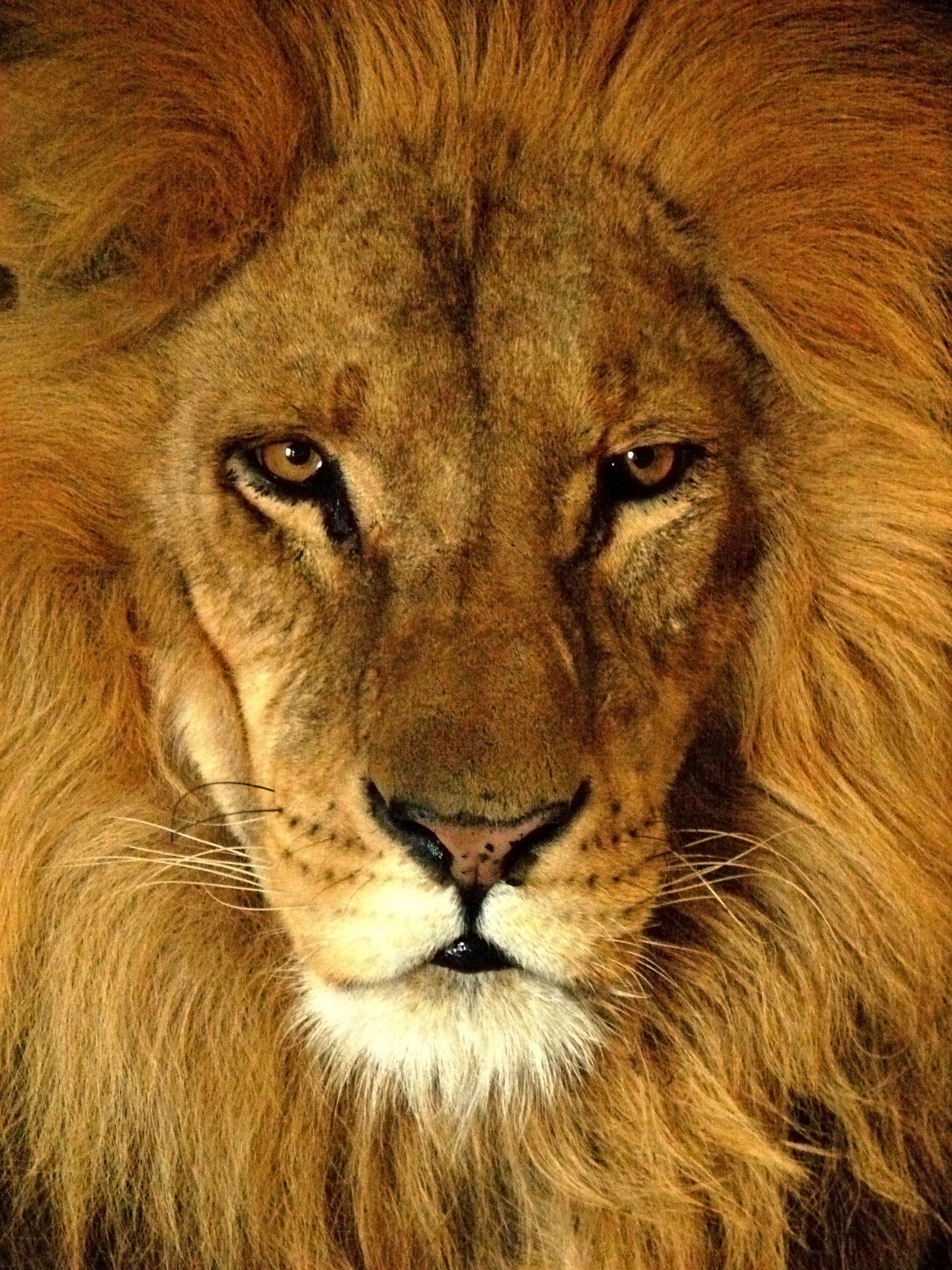 Lion head - photo#16
