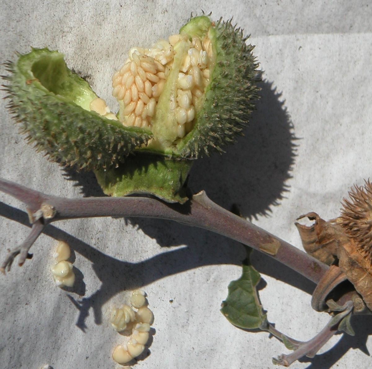 fruct Datura