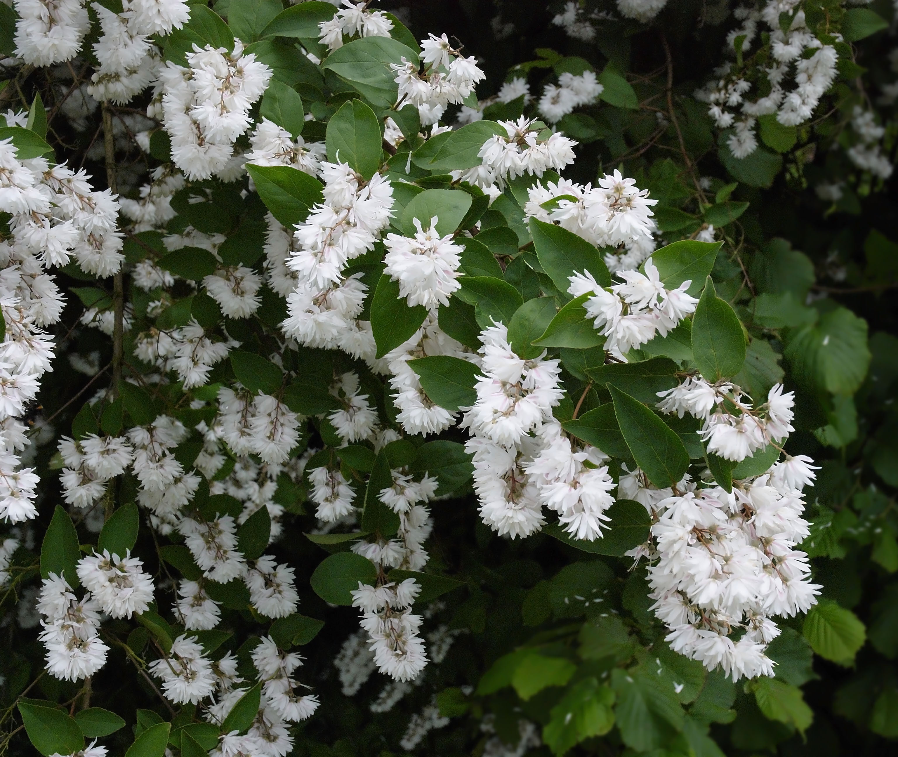 Photo of Deutzia scabra by Wouter Hagens from Wikimedia Commons