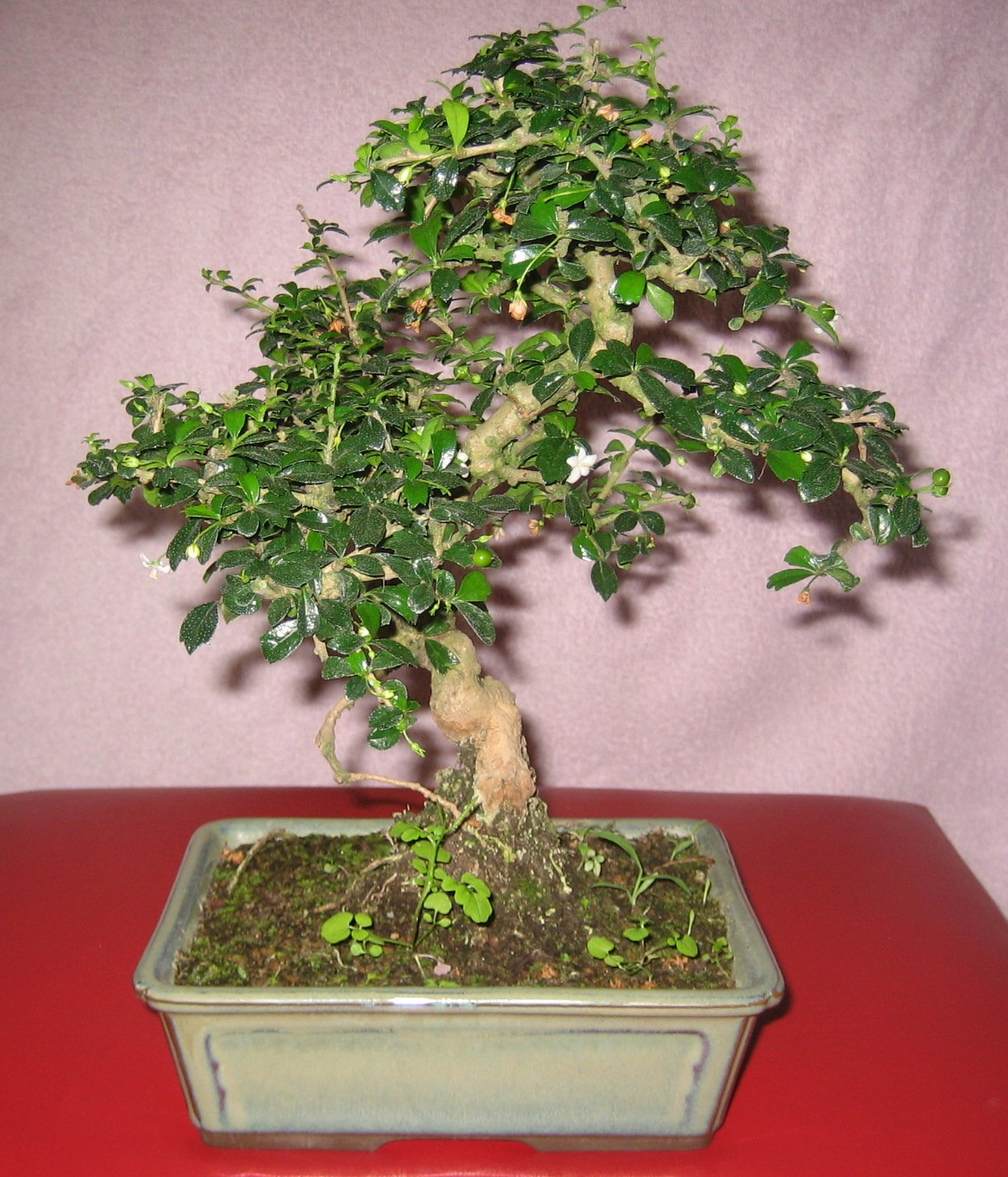 welcher bonsai ist das carmona microphylla pflanzenbestimmung pflanzensuche green24. Black Bedroom Furniture Sets. Home Design Ideas