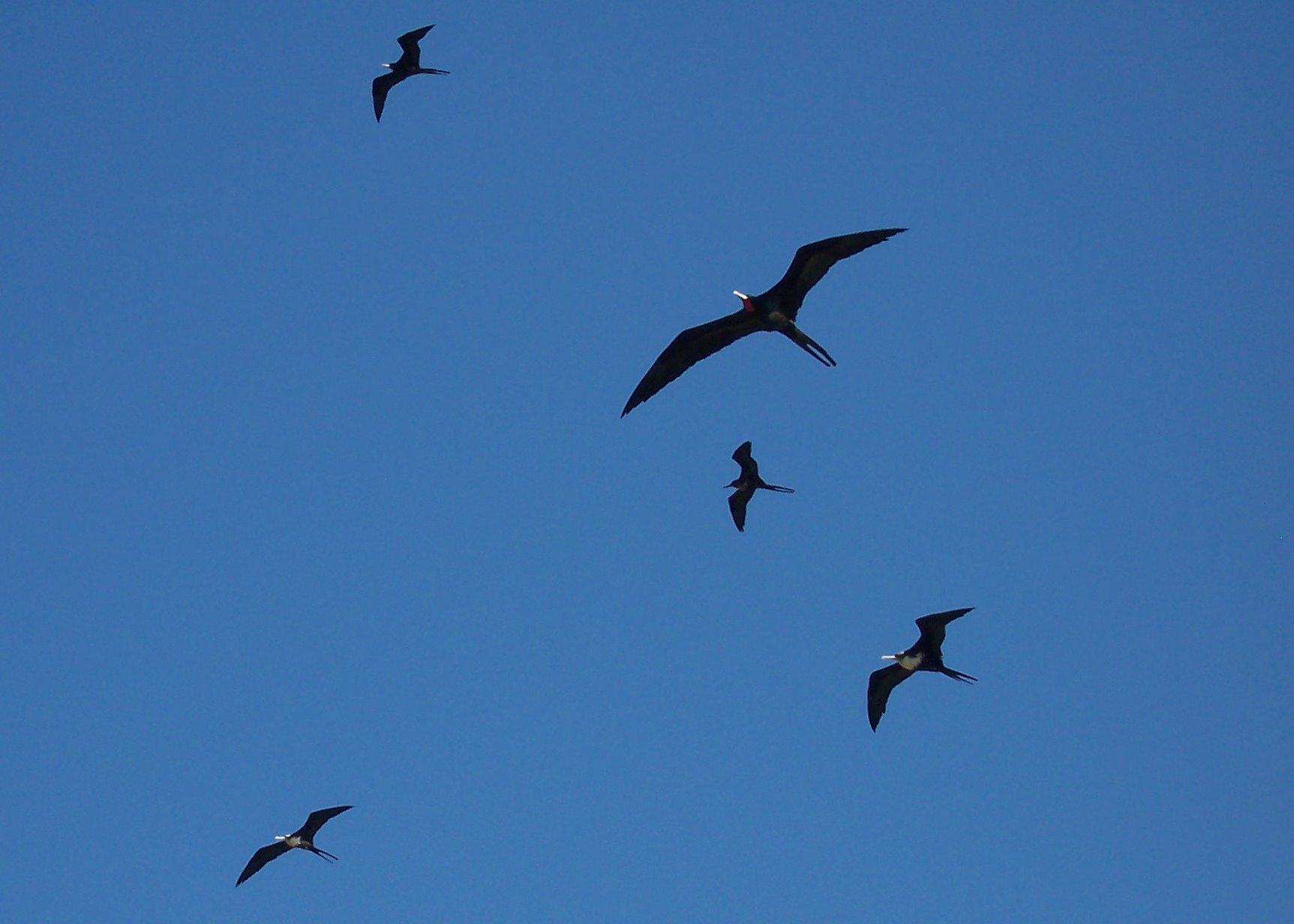 http://upload.wikimedia.org/wikipedia/commons/1/13/EuropaIsland_Frigatebirds.JPG