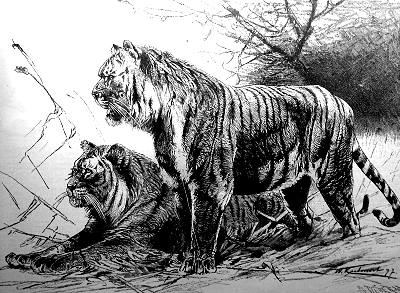 Illustration of two Caspian tigers, extinct since the 1970s. - Caspian Sea