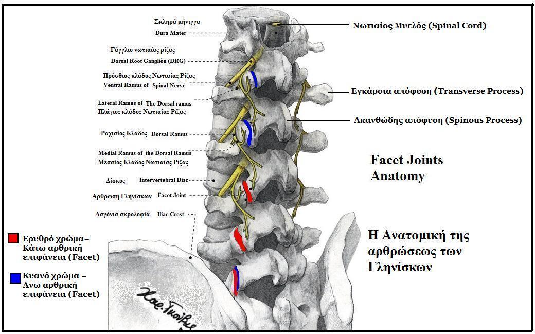 filefacet joints anatomyjpg