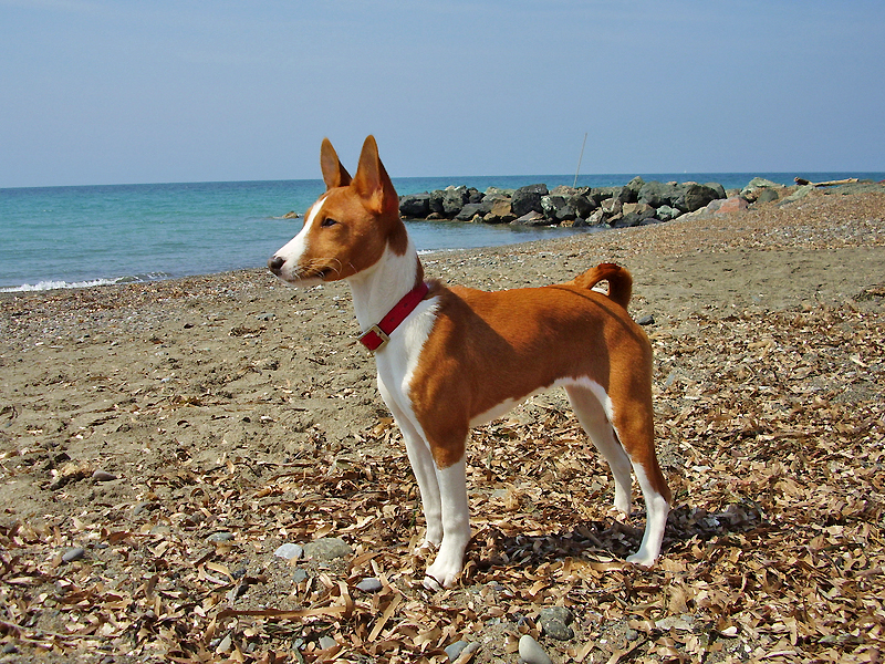Basenji dogs at beach