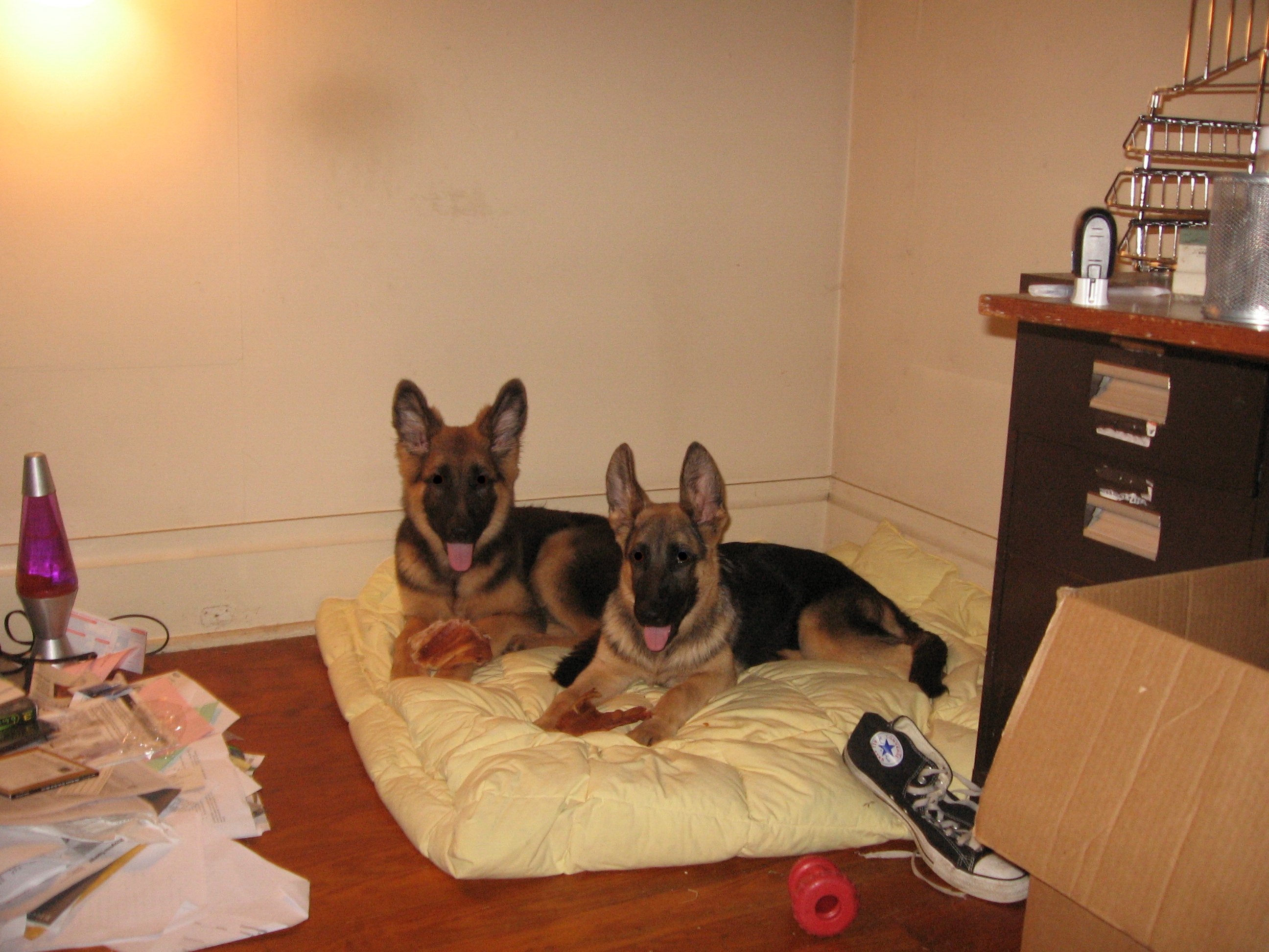 Description German Shepherd Puppies.jpg