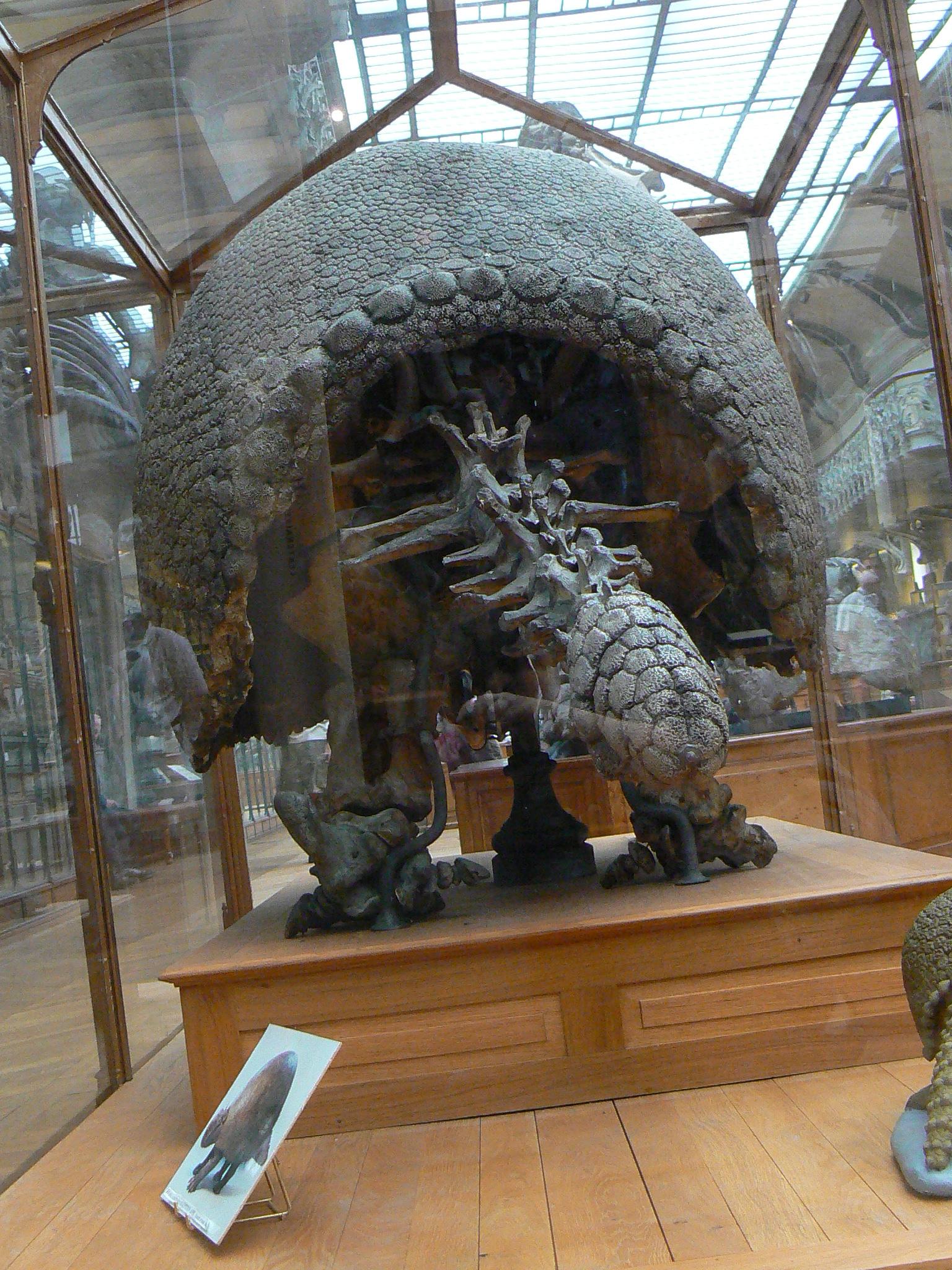 File:Glyptodon asper from behind.JPG - Wikimedia Commons