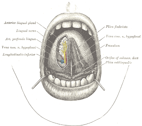 Frenulum of tongue wikipedia for Floor of mouth anatomy