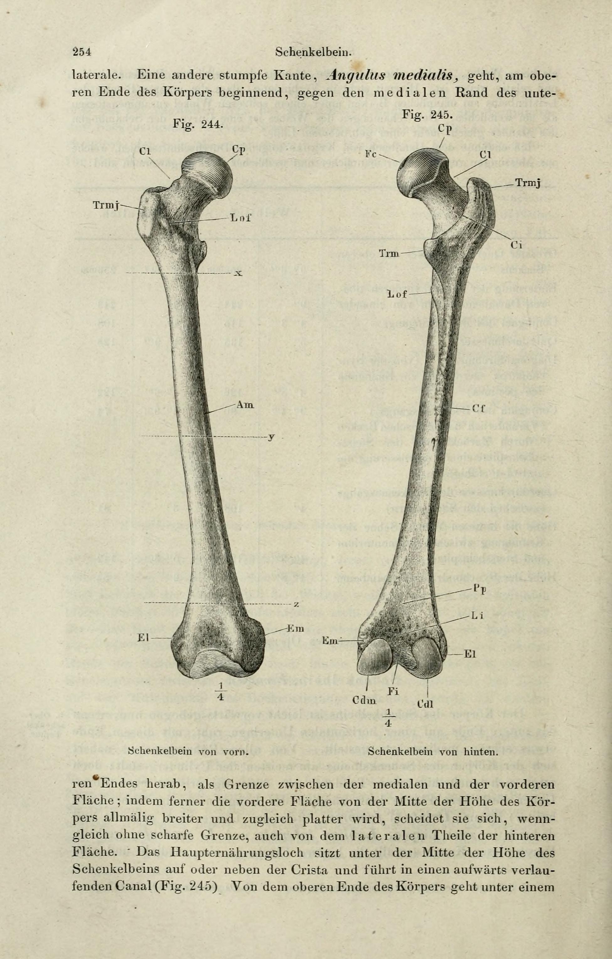 File:Handbuch der systematischen Anatomie des Menschen (Page 254 ...