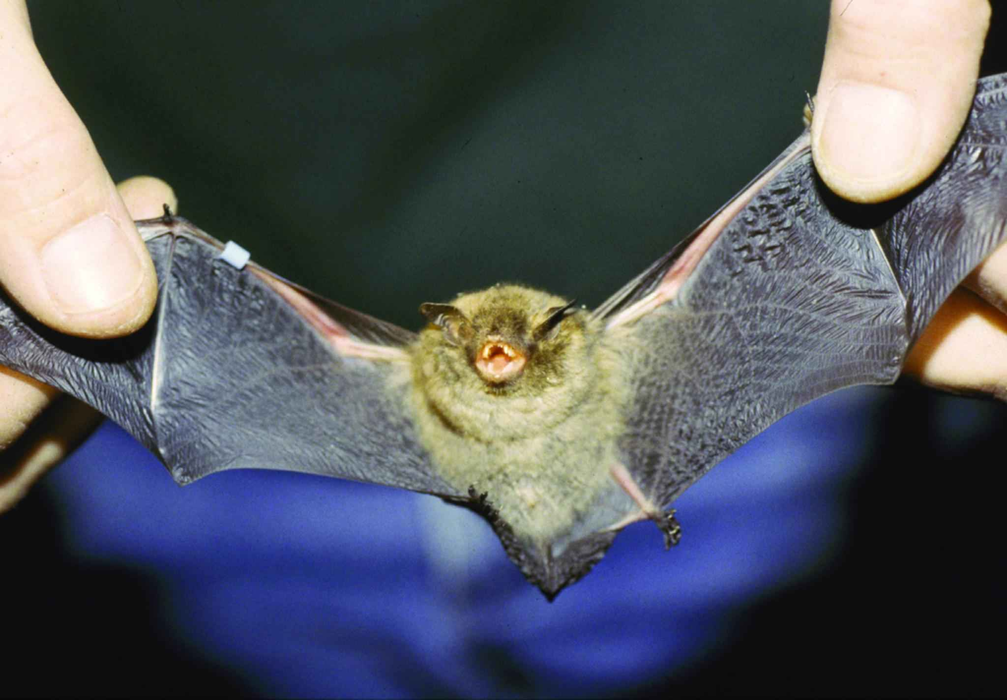 File Indiana Bat Myotis Sodalis Jpg Wikimedia Commons