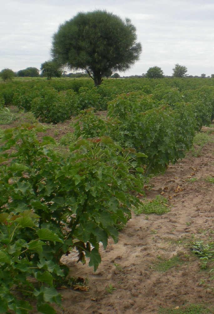 Jatropha in Paraguay, Bild von Brandenstein plantations agroconsulting