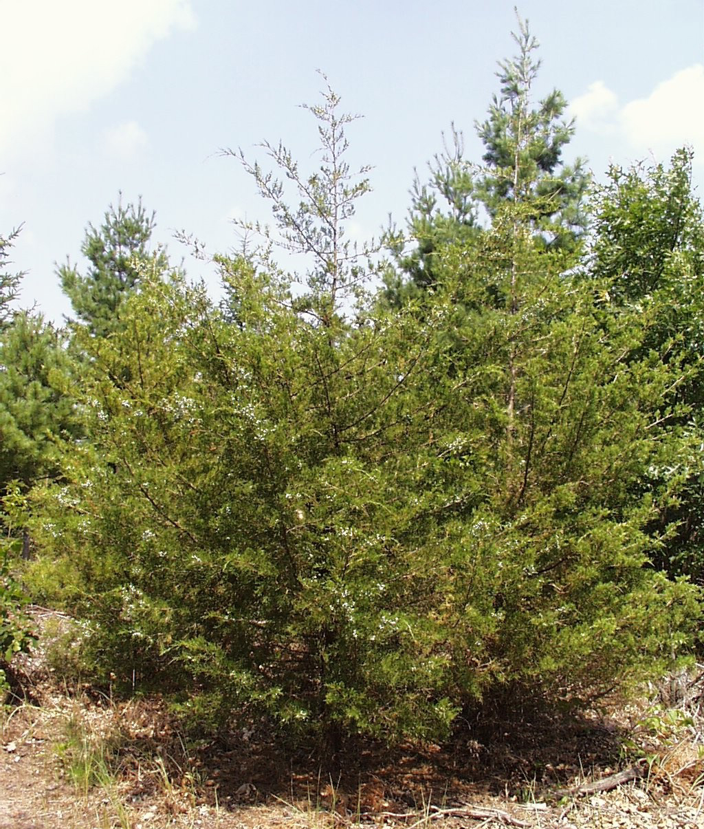 Eastern Red Cedar Varieties ~ Eastern red cedar wiktionary