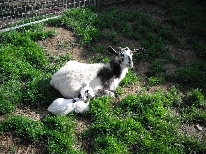 Kiko goat - Wikipedia