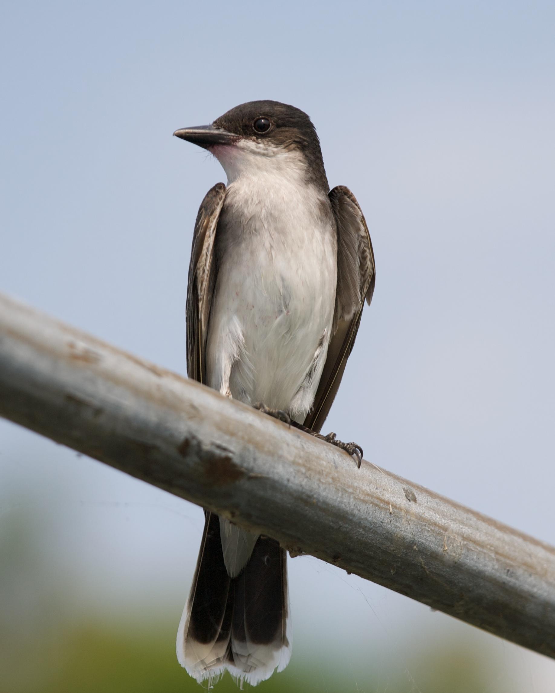Bee Martin Bird - (KINGBIRD) - Birds for Kids