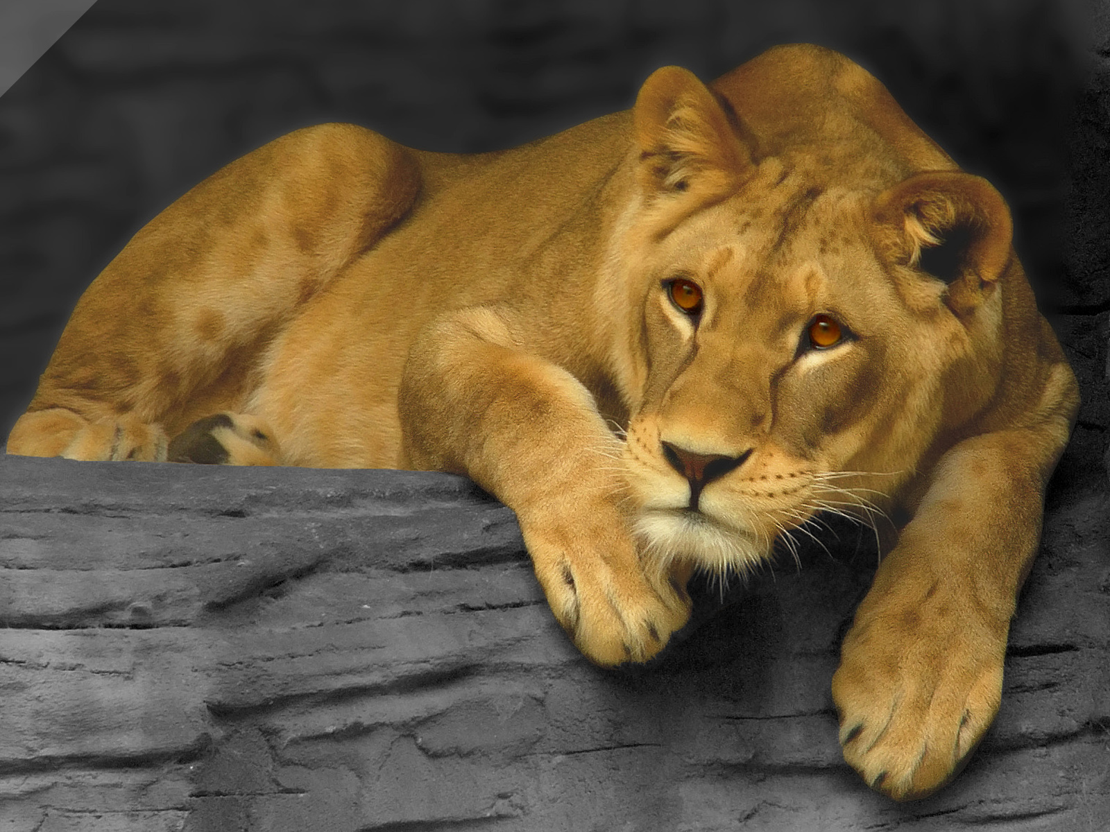 http://upload.wikimedia.org/wikipedia/commons/1/13/Lioness_updated.jpg