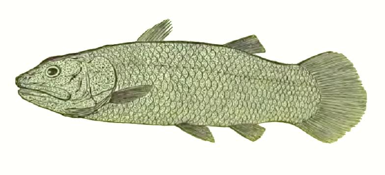 File:Macropoma 1848.png - Wikimedia Commons Латимерия