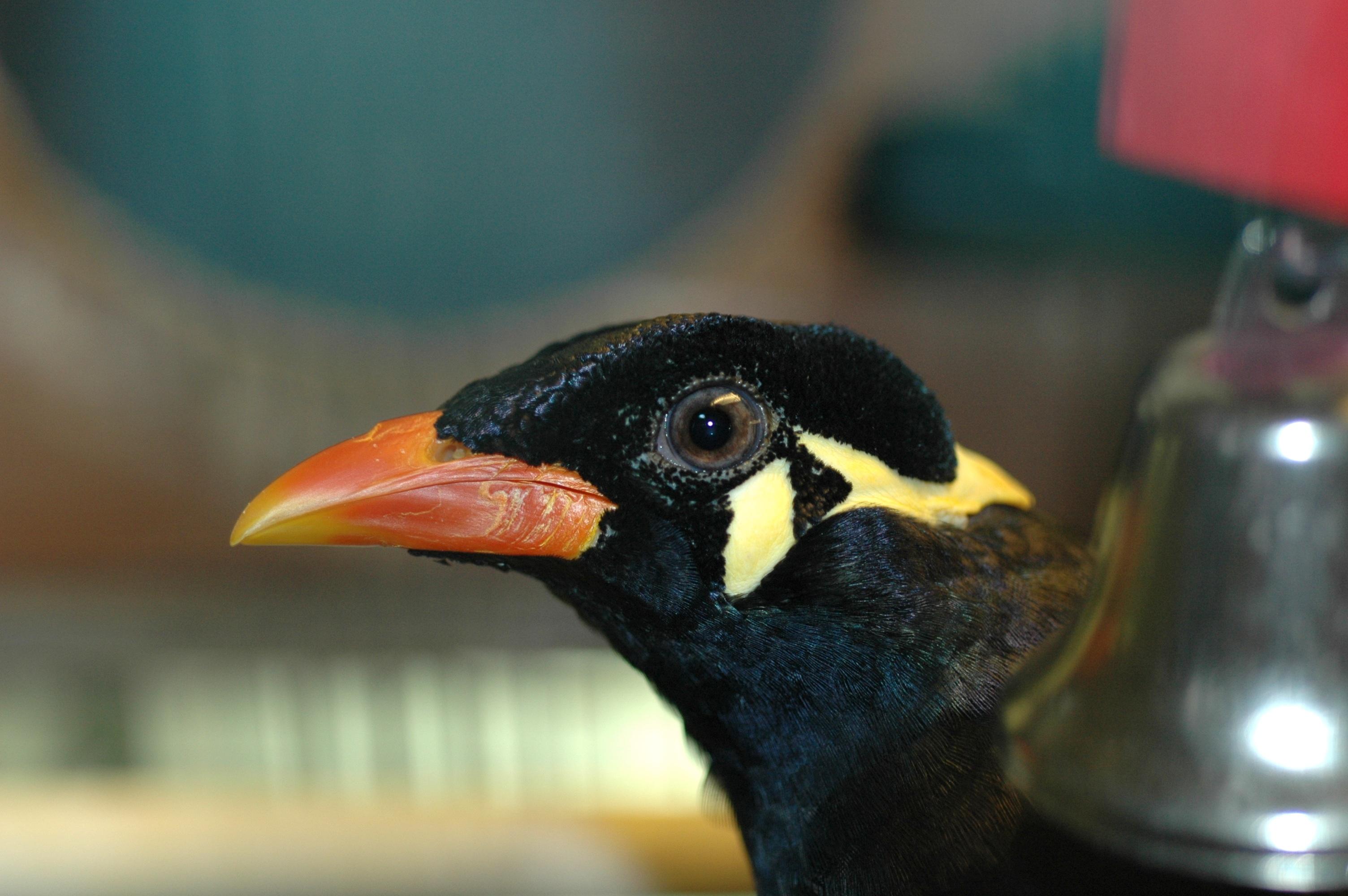 Myna Bird Images File:myna Bird Younis.jpg