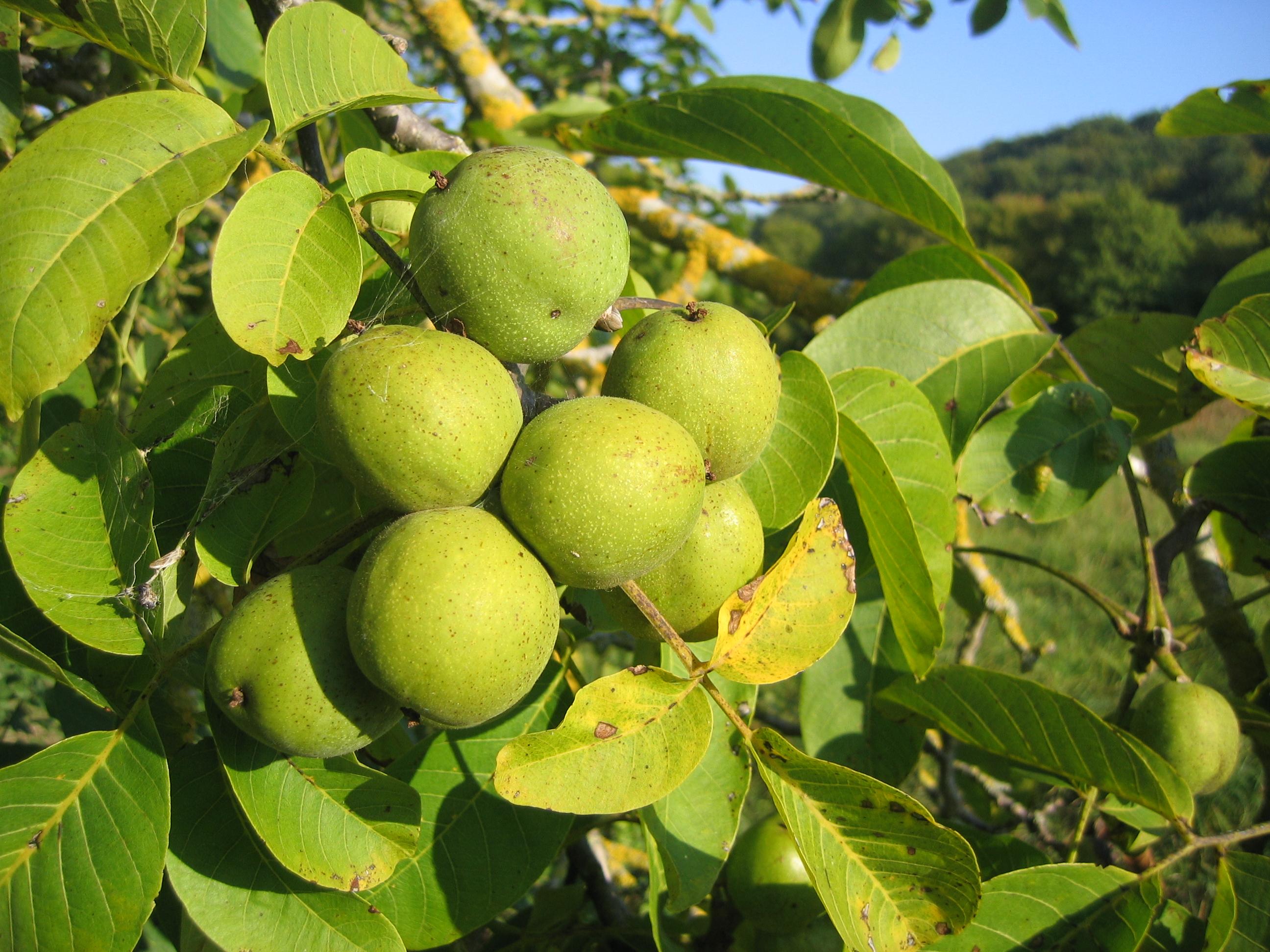juglans regia walnut gardening berries fruit. Black Bedroom Furniture Sets. Home Design Ideas