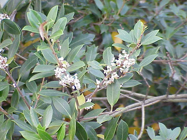Image result for Osmanthus