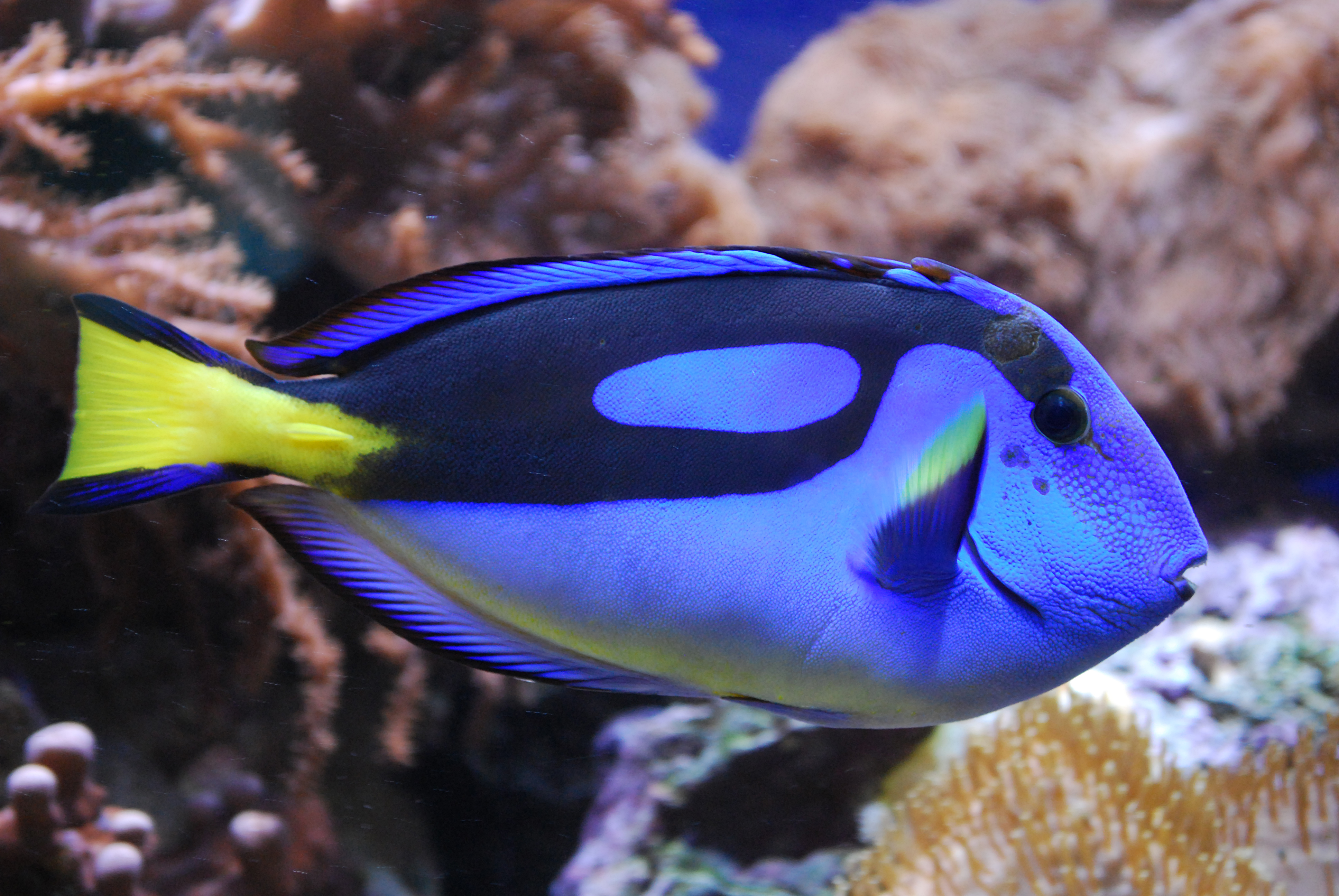 File paletten doktorfisch m nster jpg wikimedia commons for Royal blue tang fish