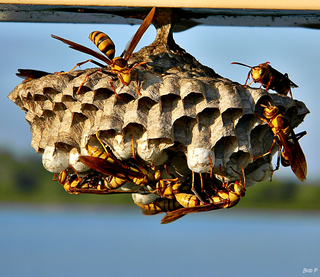 exterminating paper wasps