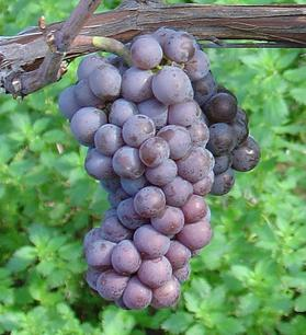 A bunch of Pinot gris grapes.