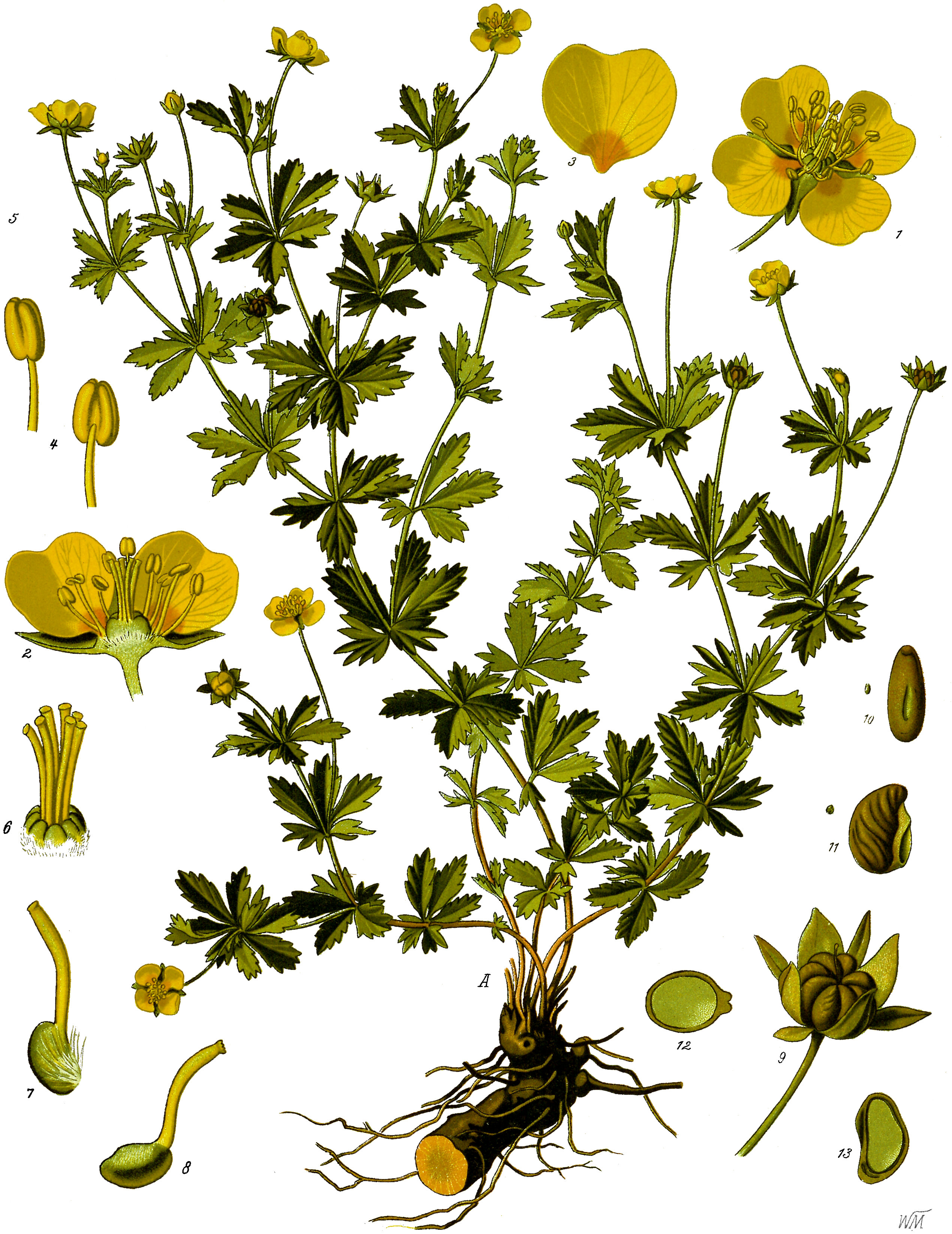 Pięciornik kurze ziele: zdjęcie
