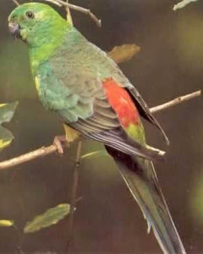 Fichier:Psephotus haematonotus.jpg