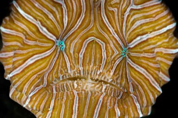 Psychedelic frogfish - face 08Am3b