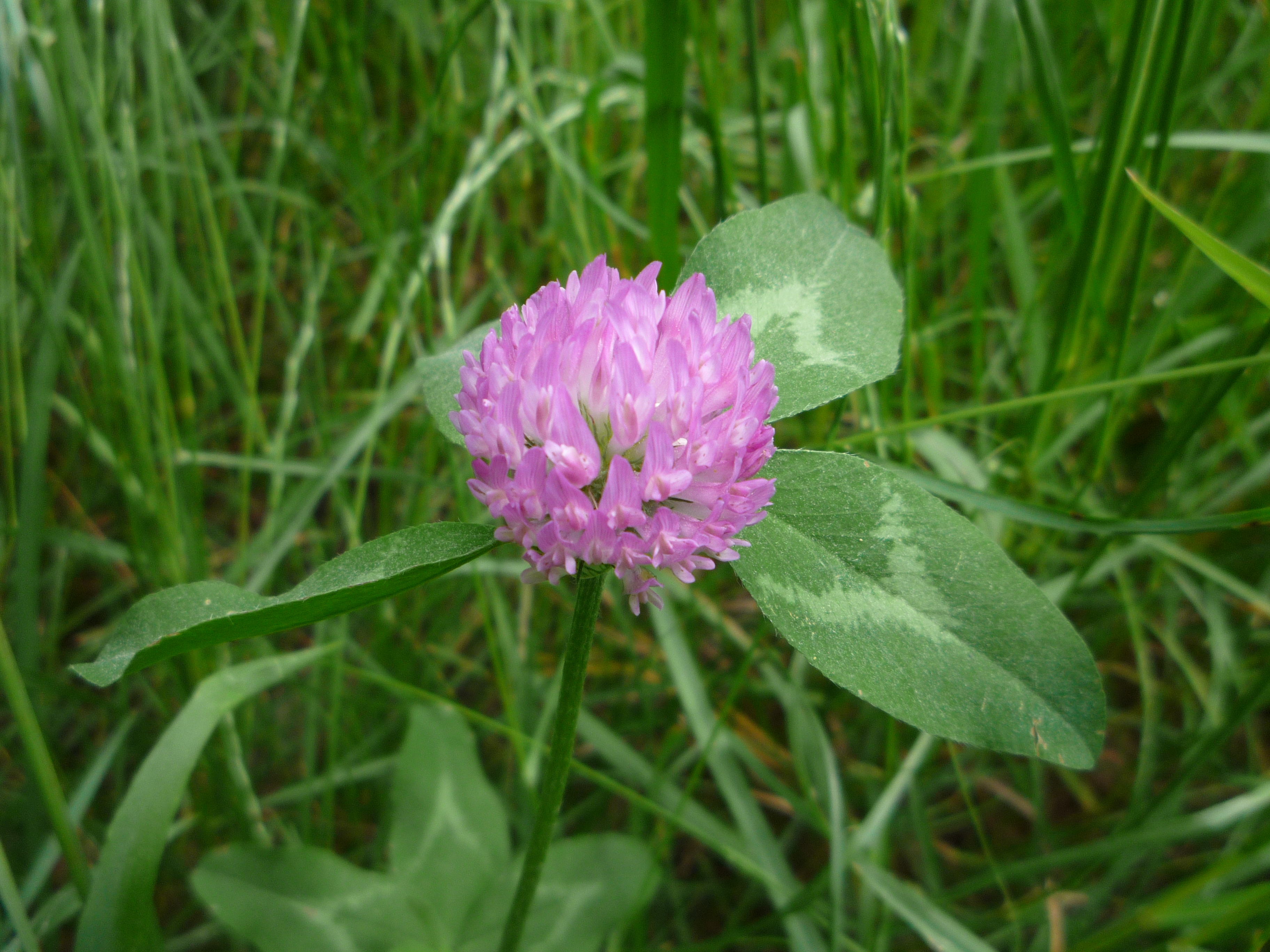 Filepurple Clover Flower Sideg Wikimedia Commons