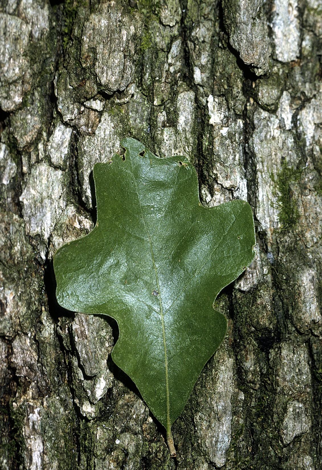 Quercus Stellata Wikipedia La Enciclopedia Libre