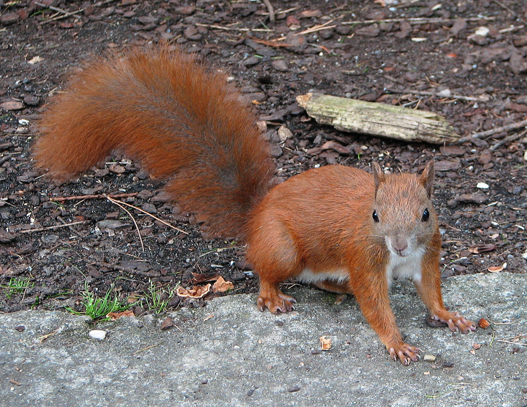 English red squirrels are
