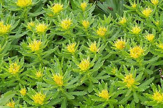 Rhodiola ishidae (200607)