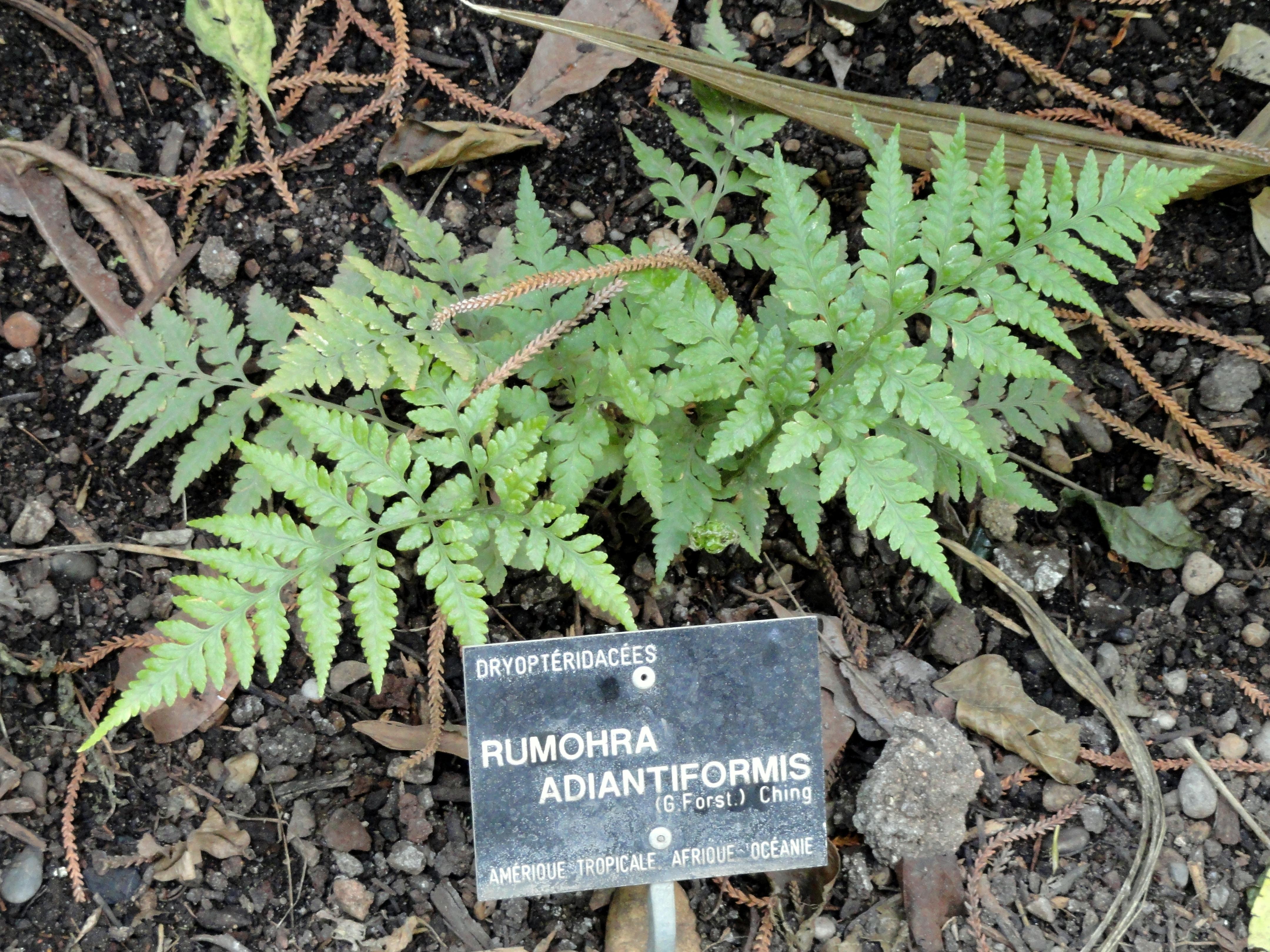 File rumohra adiantiformis jardin botanique de lyon - Jardin botanique de lyon ...