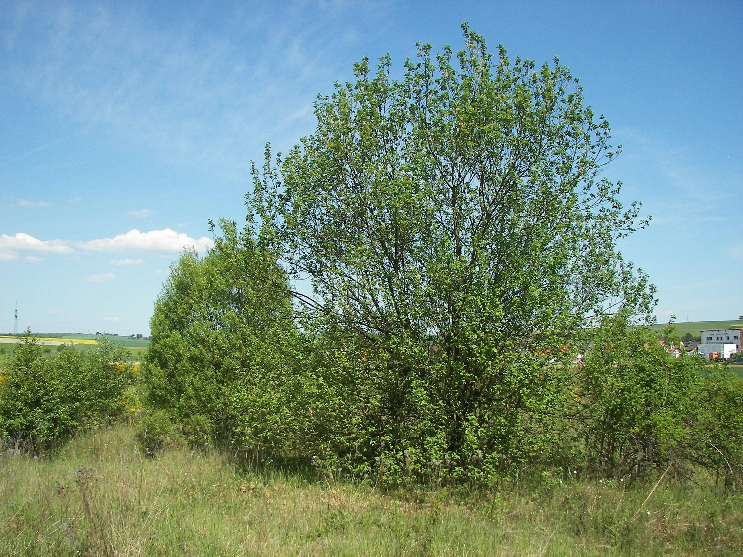 File:Salix caprea 033.jpg - Wikimedia Commons