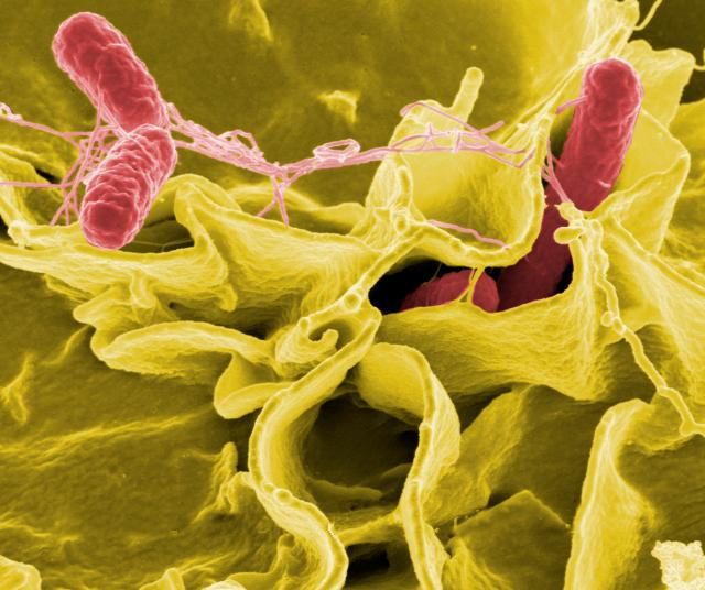 By NIAID (Salmonella Bacteria) [CC BY 2.0 (http://creativecommons.org/licenses/by/2.0)], via Wikimedia Commons