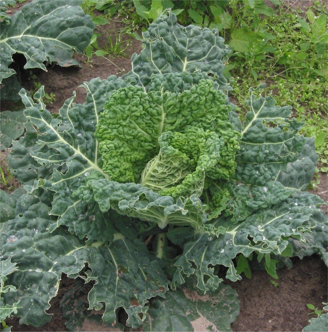 Savoy Cabbage Wikidata