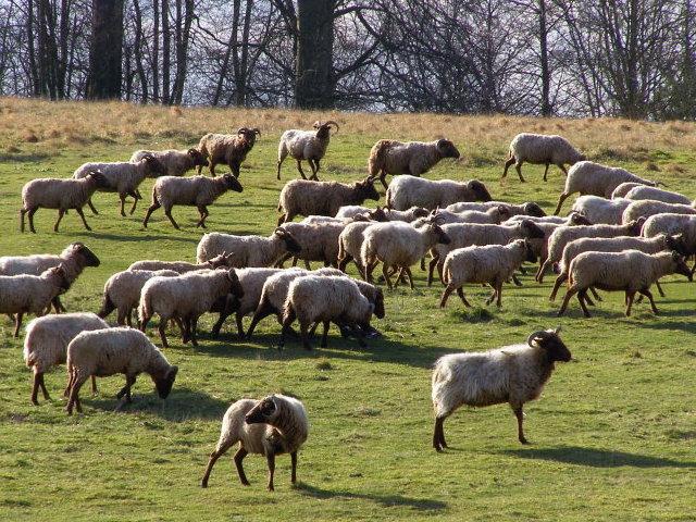 Sheep within Danebury hillfort - geograph.org.uk - 735496