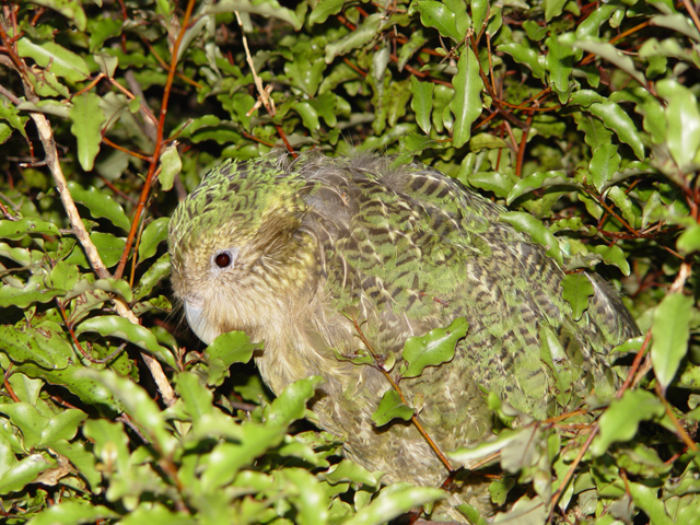 Ficheiro:Strigops habroptilus, camouflage.jpg