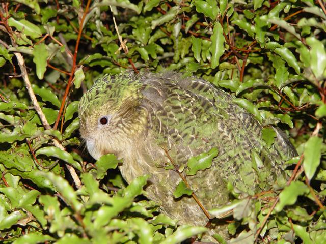 File:Strigops habroptilus, camouflage.jpg