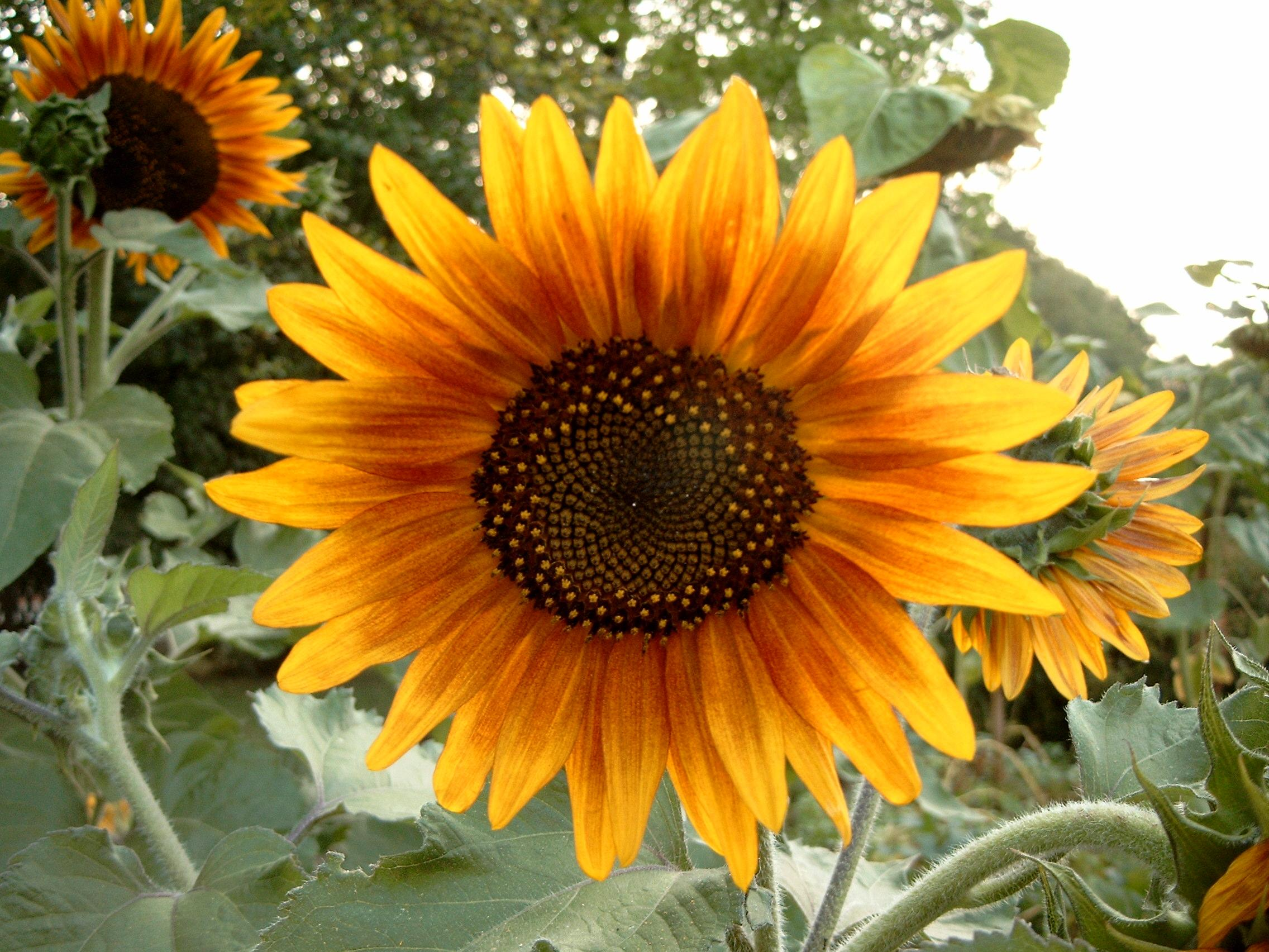 File Sunflower Metalhead64 Wikimedia mons